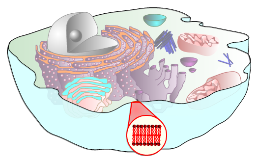 cholesterol in cell membrane